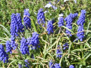 Grape Hyacinths Appear in Early March